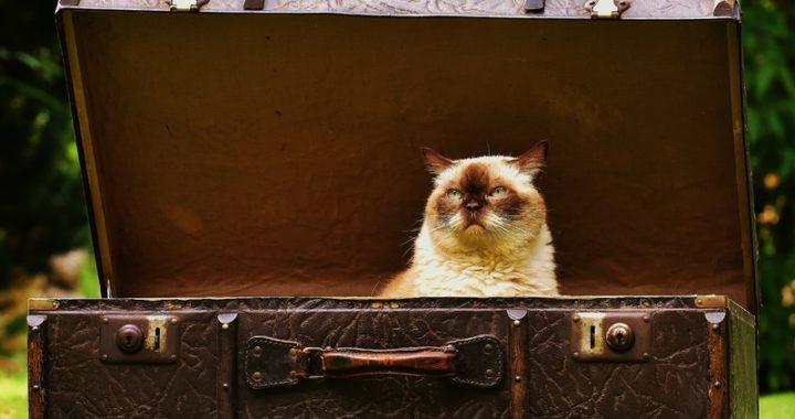 Como llevar al gato al veterinario